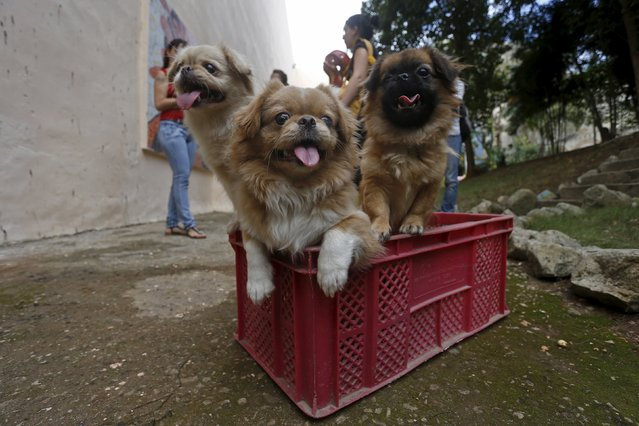 Dogs, Pretty, Llilly, and Rocky wait for their turn to be examined by veterinarians during a community campaign for the sterilisation and deworming of dogs and cats in Havana, Cuba February 25, 2016. (Photo by Reuters/Stringer)