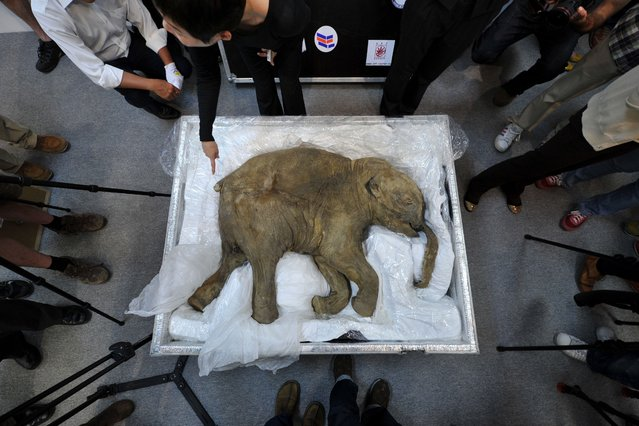 The carcass of the world's most well-preserved baby mammoth, named Lyuba, is displayed in Hong Kong on April 10, 2012.  Lyuba, whose carcass is 42 thousand years old was found by a reindeer herder in Yamal Peninsula in Russia on 2007. (Photo by Aaron Tam/AFP Photo)