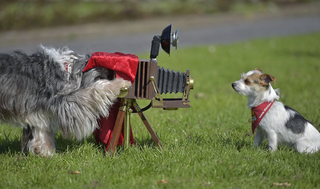 Film dogs Tom Tom, left, and Jo Jo perform with a camera at a presentation for the dog and cat show in Dortmund, Germany, Tuesday, April 28, 2015. (Photo by Martin Meissner/AP Photo)