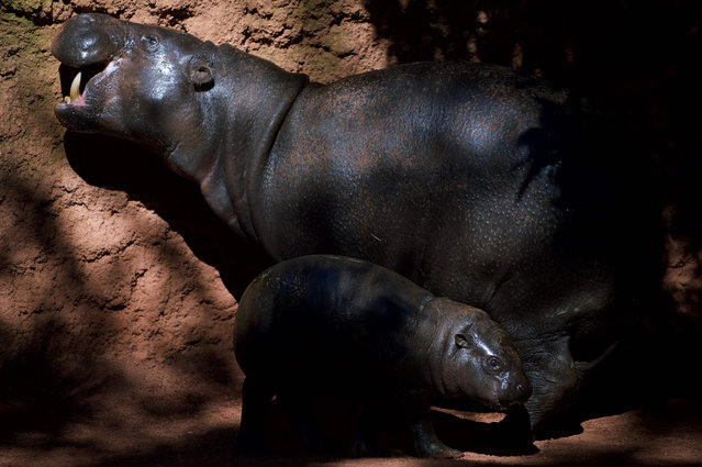 Hippopotamus calf, Nimba, stands beside its mother, Liberia, at the Fuengirola Bioparc, near Malaga on February 8, 2017. (Photo by Jorge Guerrero/AFP Photo)
