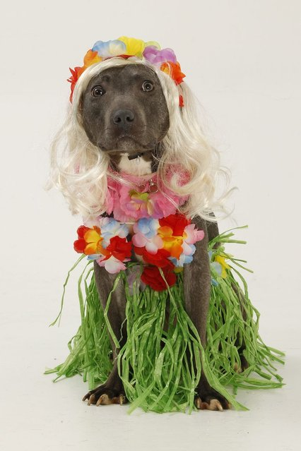 Nelly the Staffordshire bull terrier, wearing a blonde wig and hoola girl fancy dress. (Photo by Helen Yates/Barcroft Media)