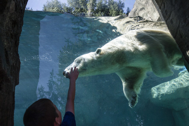 A visitor presses against exhibit glass as Berit the polar bear while the animal swims laps around its enclosure at the Cincinnati Zoo and Botanical Garden, Friday, April 1, 2016, in Cincinnati. (Photo by John Minchillo/AP Photo)