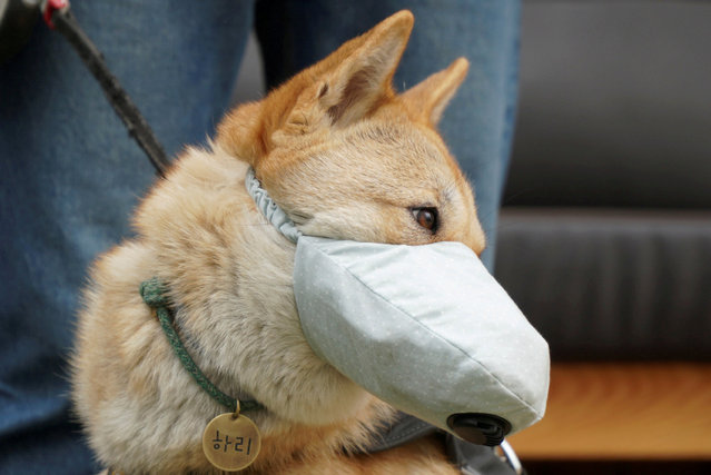 Hari, a one-and-a-half-year-old Korean Jindo dog wears a dog mask on a poor air quality day in Incheon, South Korea, March 15, 2019. (Photo by Hyun Young Yi/Reuters)