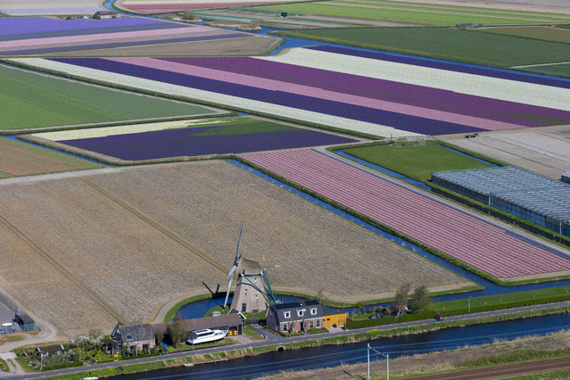 """Aerial view of a windmill and flower fields surrounding Keukenhof spring park in Lisse, near Amsterdam, Netherlands, Wednesday, April 10, 2019. For years, the Dutch agriculture, horticulture and logistics industries have been refined to swiftly deliver their produce to customers in the United Kingdom. A so-called """"hard"""" Brexit could seriously impact the supply chain with delays expected at British and European ports if Britain leaves the EU without a deal. (Photo by Peter Dejong/AP Photo)"""