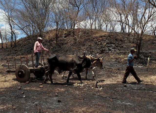Men collects logs to make charcoal at La Campanera village, Nicaragua, May 22, 2015. Around 300 families live off the sale of charcoal in this area located in the dry corridor of Nicaragua. Friday marks World Environment Day. Picture taken May 22, 2015. REUTERS/Oswaldo Rivas