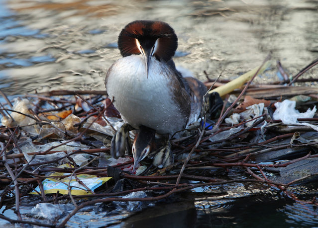 Grebes prepare to do the springtime 'penguin dance' on a nest partially built from discarded litter, on the south quay at Isle of Dogs, east London. (Photo by Yui Mok/PA Wire Press Association)