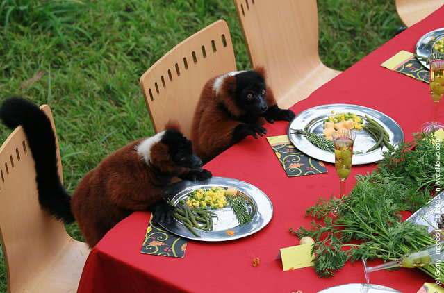 Lemurs Enjoy Thanksgiving Feast At San Francisco Zoo