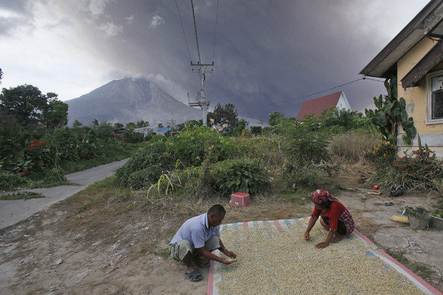 Farmers dry coffee beans as Mount Sinabung spews volcanic ash into the air in Sibintun, North Sumatra, Indonesia, Sunday, June 28, 2015. The volcano has spewed hot lava almost daily since its alert status was raised earlier this month to the highest level. Thousands of villagers whose homes are in the danger zone have been evacuated since then to safer areas. (Photo by Binsar Bakkara/AP Photo)