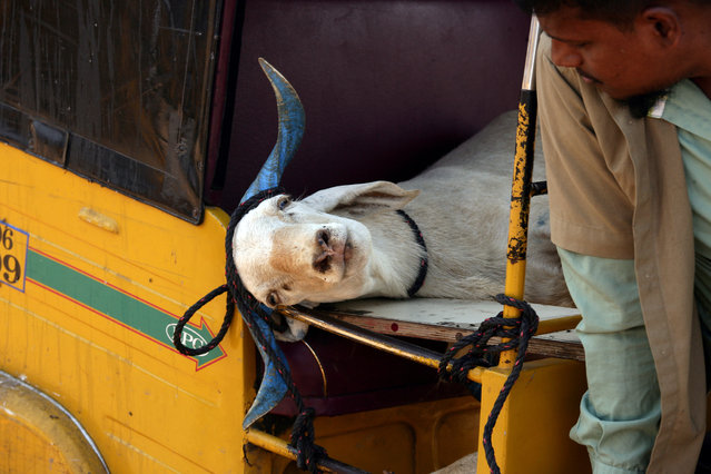 An auto rickshaw driver looks at a goat tied inside his rickshaw after a man bought it from a livestock market ahead of the Muslim festival of Eid al-Adha on the outskirts of Chennai, India, August 9, 2019. (Photo by P. Ravikumar/Reuters)