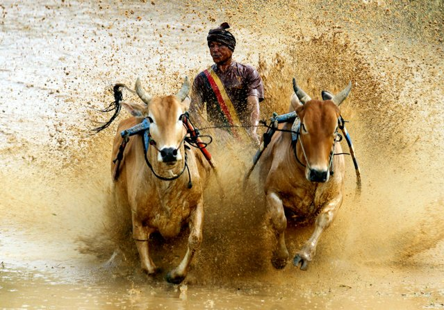 An Indonesian jockey competes during a traditional Pacu Jawi, a cow race on the muddy unplanted paddy fields of Tanah Datar, Indonesia, May 3, 2014. Pacu Jawi is held by farmers before the start of the new harvesting season. (Photo by EPA/Rivo)