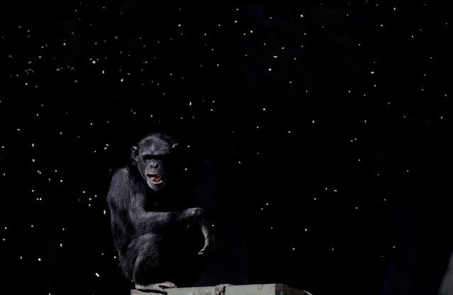 """In this May 16, 2017 photo, a chimpanzee watches as a worker tosses handfuls of grain into his enclosure, at the former city zoo now known as Eco Parque, in Buenos Aires, Argentina. When Mayor Horacio Rodriguez Larreta announced its closure last year, he said the animals were a """"treasure"""" that couldn't remain in captivity near the noise and pollution. But not a single animal owned by the city has been transferred. (Photo by Natacha Pisarenko/AP Photo)"""