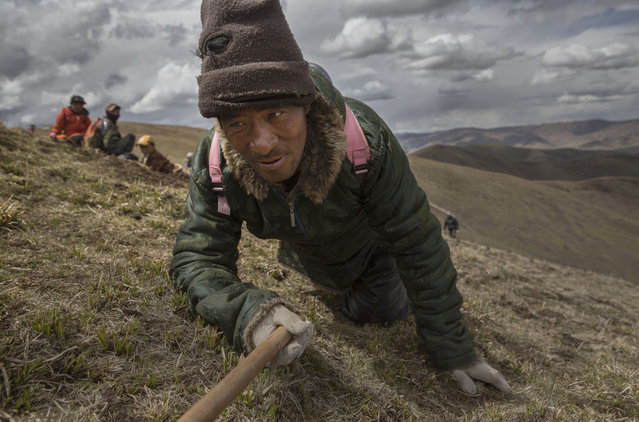 A Tibetan nomad crawls while harvesting cordycep fungus on May 20, 2016 near Sershul on the Tibetan Plateau in the Garze Tibetan Autonomous Prefecture of Sichuan province. (Photo by Kevin Frayer/Getty Images)