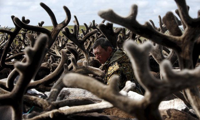 A herder is seen amidst antlers while working with reindeer at a camping ground, some 200 km (124 miles) northeast of Naryan-Mar, the administrative centre of Nenets Autonomous Area, far northern Russia, August 2, 2015. People, including local herders and members of their families, gathered at the site to mark Reindeer Day, a professional holiday of reindeer breeding workers, which is celebrated annually on August 2 in the region. (Photo by Sergei Karpukhin/Reuters)