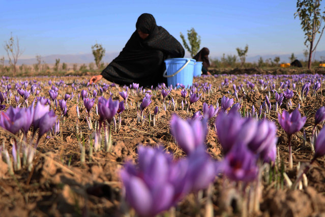 Afghan women harvest saffron flowers in Herat, Afghanistan, 05 November 2019. According to reports the saffron industry in the province of Herat has hired more than five thousand farmers with 40 percent of them being women, to cultivate about one thousand acres of land (about four square kilometers). The World Bank states that saffron is a lucrative alternative to poppy cultivation while international buyers around the world have been attracted by its good quality including Europe, US, China, and India. (Photo by Jalil Rezayee/EPA/EFE)