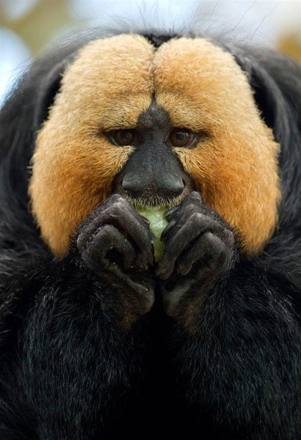 A white-faced saki eats at the zoo in Nuremberg, Germany on May 8, 2012