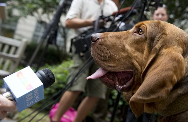 The Washington, DC Police Department's first bloodhound, Sam, a dog trained to track human scent, appears during a press conference introducing him at Police Headquarters in Washington, DC on August 29, 2013. The dog, which cost 8,000 USD, can track human scents over great distances, even when they use vehicles. (Photo by Saul Loeb/AFP Photo)