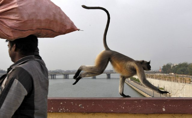 A monkey runs past a man as it crosses a bridge on the Sabarmati river in Ahmedabad, India, June 28, 2016. (Photo by Amit Dave/Reuters)