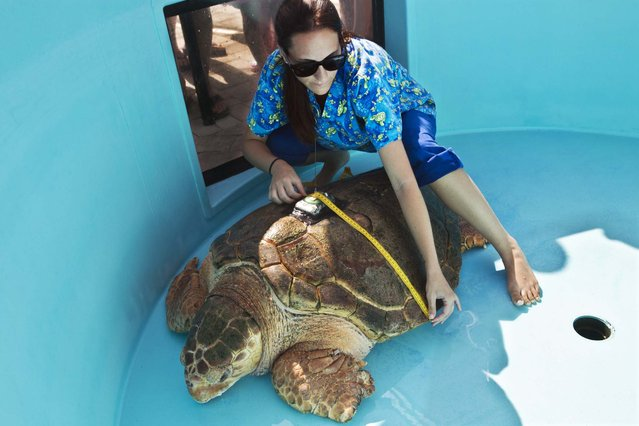 Rehabilitation Tech Victoria Ternullo measures Kahuna's shell
