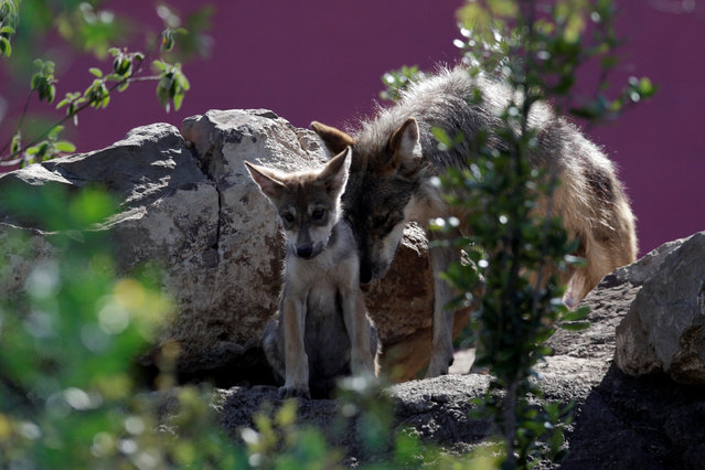 A newly born Mexican gray wolf cub, an endangered native species, interacts with his mother at its enclosure at the Museo del Desierto in Saltillo, Mexico, July 19, 2016. Though once held in high regard in Pre-Columbian Mexico, it is the most endangered gray wolf in North America, having been extirpated in the wild during the mid-1900s through a combination of hunting, trapping, poisoning and digging pups from dens. (Photo by Daniel Becerril/Reuters)