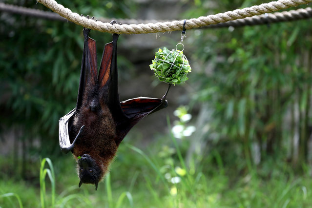 A fruit bat eats lettuce as it hangs from a rope during a behind the scenes interactive live stream from the Oakland Zoo on April 16, 2020 in Oakland, California. Since the Oakland Zoo has been closed to the public during the shelter in place, they are offering a subscription based service that will feature five weekly behind the scenes live streamed interactive programs that will feature animal keepers and their animals. Viewers are able to interact with the keepers by submitting questions to about the animals. (Photo by Justin Sullivan/Getty Images)