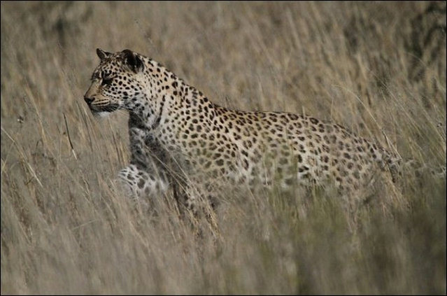 South African Leopard Catches Sandgrouse