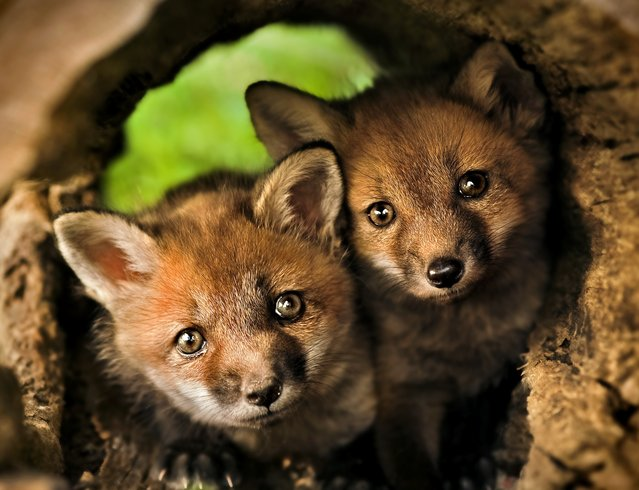 Red fox kits look out from a hollow log. (Photo by Kevin Fleming)