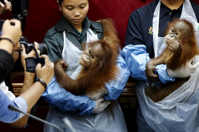 Two baby orangutans are photographed at a news conference in Kuala Lumpur, Malayasia, October 19, 2015. (Photo by Olivia Harris/Reuters)
