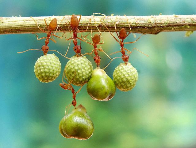 """Ants Holding Seeds"". Photo by Eko Adiyanto (Bekasi, Indonesia). Photographed in Bekasi, West Java, Indonesia, April 2012."