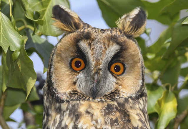 A long-eared owl sits on a tree near Lebus, eastern Germany, Monday, March 5, 2018. (Photo by Patrick Pleul/DPA via AP Photo)