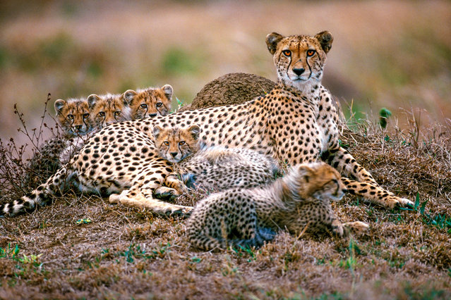 "Cheetah and cubs in Phinda reserve, South Africa. ""Cheetahs often rest on termite mounds from which they are able to survey their surroundings, as here in Phinda reserve, South Africa. This is a necessity for a mother with many cubs to keep out of harm's way"". (Photo by Art Wolfe/The Guardian)"