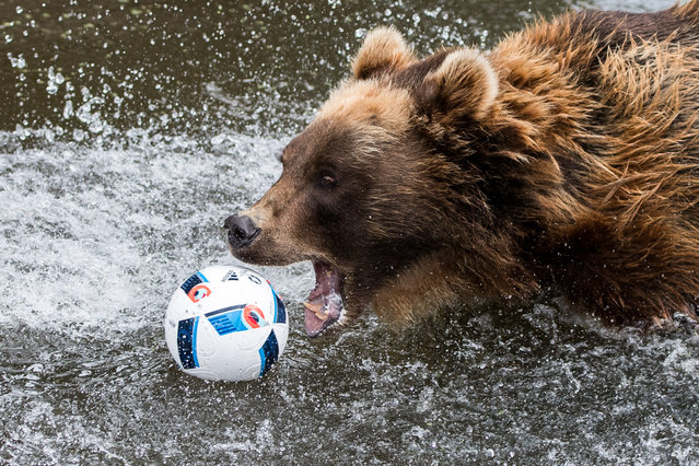 Kamtschatka bear Masha bites a football lying on the water in her animal enclosure at animal park Hagenbeck in Hamburg, Germany, 7 July 2016. (Photo by Lukas Schulze/AFP Photo/DPA)