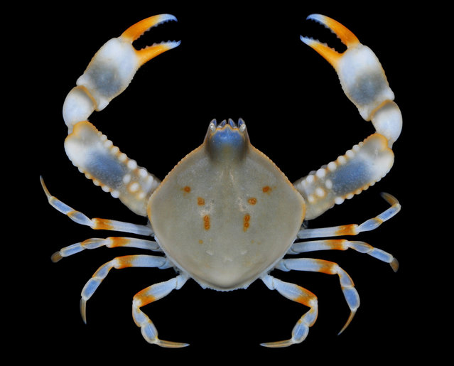 Jewel pebble crab (Seulocia cristata); Straits of Johore, October 2012. (Arthur Anker)