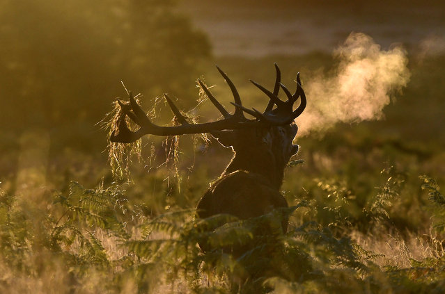 A male deer barks at dawn during the annual deer rutting season at Richmond Park in London, Britain, October 9, 2016. (Photo by Toby Melville/Reuters)