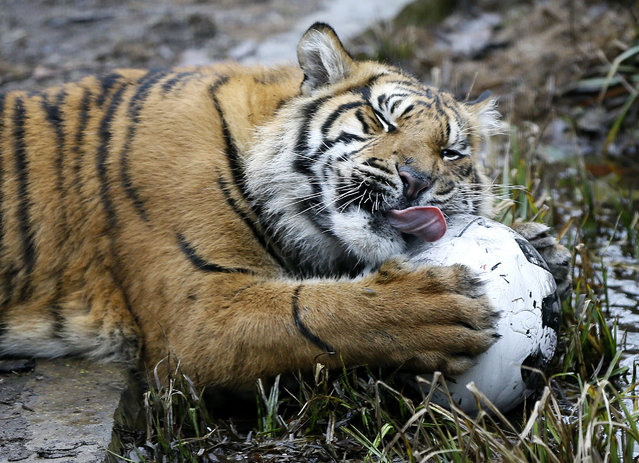 A Sumatran tiger plays with a football filled with food during the annual stock take at London Zoo, Monday, January 5, 2015. (Photo by Kirsty Wigglesworth/AP Photo)