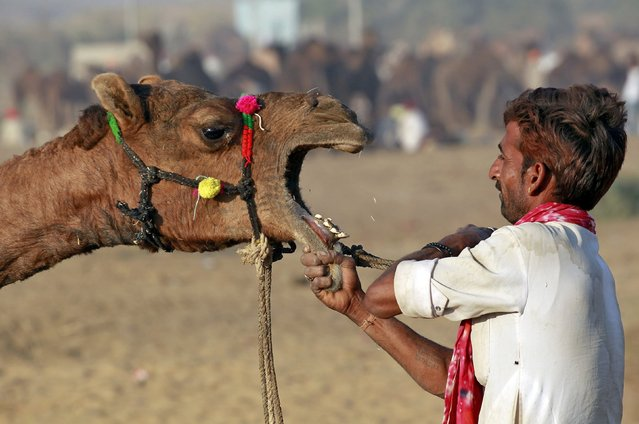 A camel herder removes the rope from the mouth of a camel at the Pushkar Fair in Rajasthan, India, November 22, 2015. Thousands of animals, mainly camels, are brought to the annual fair to be traded. (Photo by Jitendra Prakash/Reuters)