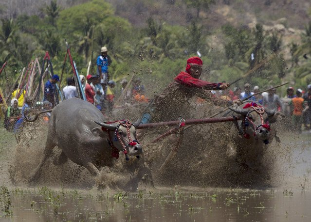A jockey tries to control his water buffalo during a traditional Barapan Kebo or buffalo races,  in Taliwang, on the island of Sumbawa, West Nusa Tenggara, Indonesia November 22, 2015. Around 250 pairs of water buffalo took part in the Barapan Kebo ahead of the planting season, for prizes which included a top prize of a pilgrimage to Mecca. (Photo by Sigit Pamungkas/Reuters)