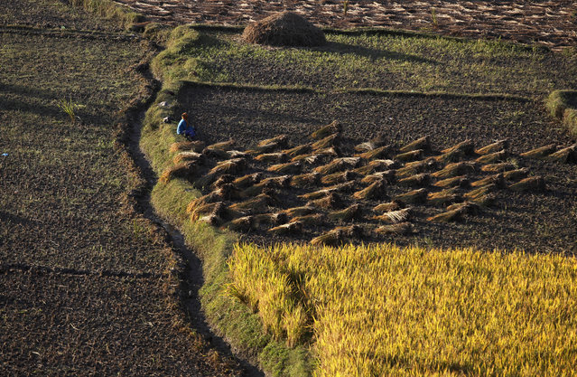 A Nepalese farmer takes rest while harvesting paddy in Chunnikhel, on the outskirts of Kathmandu, Nepal, Thursday, October 20, 2016. Agriculture is the main source of food, income, and employment for the majority of people in Nepal. (Photo by Niranjan Shrestha/AP Photo)