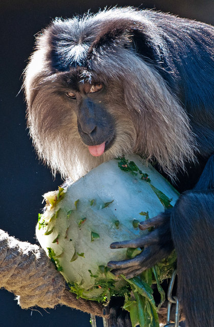 A Lion-Tailed macaque holds a big block of ice  with a mix of  frozen vegetables and fruit  at the zoo in Leipzig, central Germany, Friday, July 19, 2013. Weather forecasts predict sunny weather and warm temperatures for Germany in the next few days. (Photo by Jens Meyer/AP Photo)