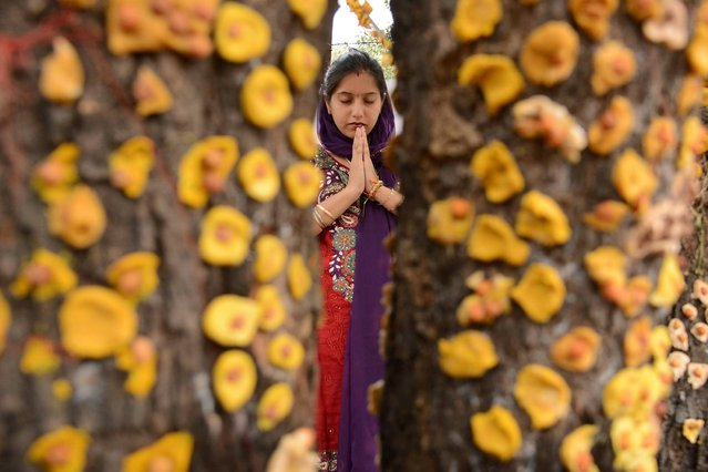 An Indian Hindu devotee prays in front of a ber tree, on the occasion of Maha Laxmi Vrat outside a Shiv Temple in Amritsar, on September 28, 2013. (Photo by Reuters)