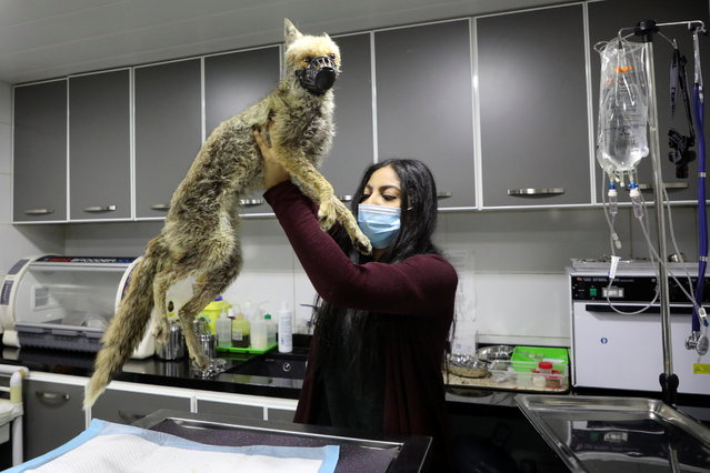 Vice President of Lebanese Wildlife Alexandra Youssef, checks a fox at a vet clinic in Beit Mery, Lebanon on March 26, 2021. (Photo by Mohamed Azakir/Reuters)