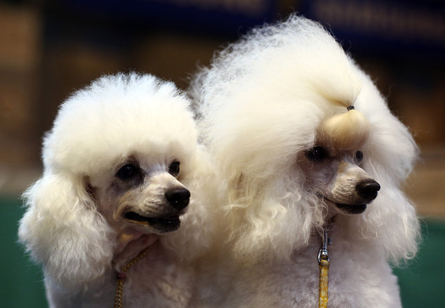 Toy Poodles are seen  on the fourth and final day of Crufts dog show at the National Exhibition Centre on March 8, 2015 in Birmingham, England.  First held in 1891, Crufts is said to be the largest show of its kind in the world. The annual four-day event, features thousands of dogs, with competitors travelling from countries across the globe to take part and vie for the coveted title of 'Best in Show'.  (Carl Court/Getty Images)