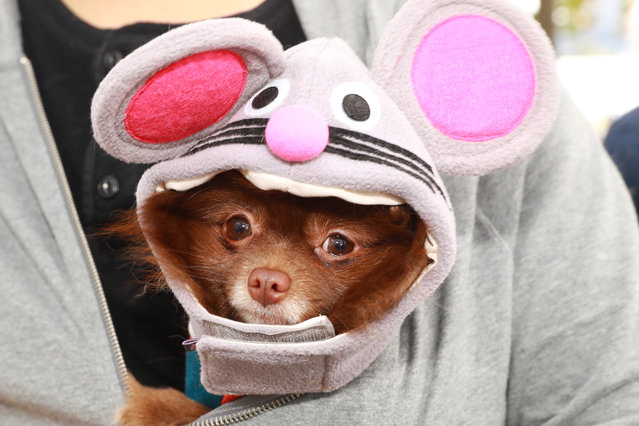 A dog in costume is seen during the 28th Annual Tompkins Square Halloween Dog Parade at East River Park Amphitheater in New York on October 28, 2018. (Photo by Gordon Donovan/Yahoo News)