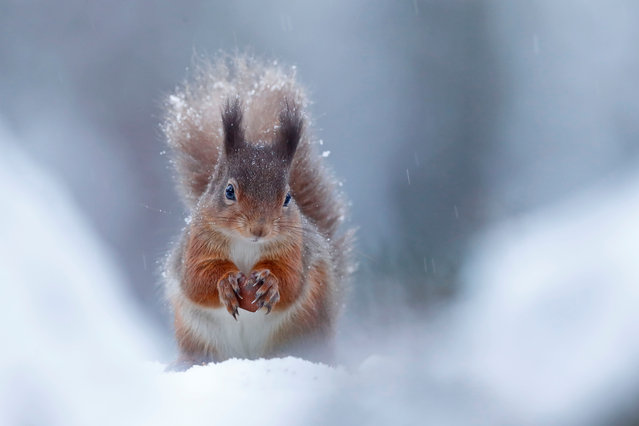 British seasons winner: Seasonal Scottish Red Squirrels, image 4. (Photo by Neil Mcintyre/British Wildlife Photography Awards)