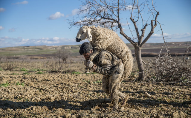 A man carries a sheep after it was rescued from mud in Sanliurfa, Turkey on January 9, 2019. Total of 67 sheep and a donkey rescued from mud by gendarmerie forces, firefighters and local people in Sanliurfa's Bozova district. (Photo by Halil Fidan/Anadolu Agency/Getty Images)