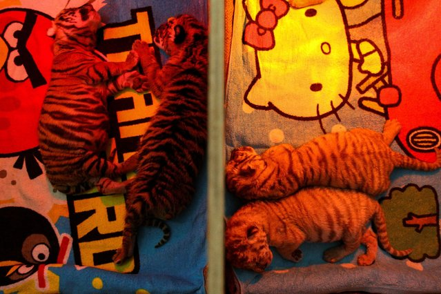 Tiger cubs born on the first day of the Lunar New Year and Year of the Rooster are pictured at Sriracha Tiger Zoo in Chonburi province, Thailand, January 30, 2017. (Photo by Athit Perawongmetha/Reuters)