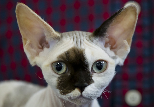 Gaya, a Devon Rex kitten, waits to be evaluated by a judge in Bucharest, Romania, Sunday, April 26, 2015. More than 250 cats entered the international feline beauty competition in the Romanian capital. (Photo by Vadim Ghirda/AP Photo)