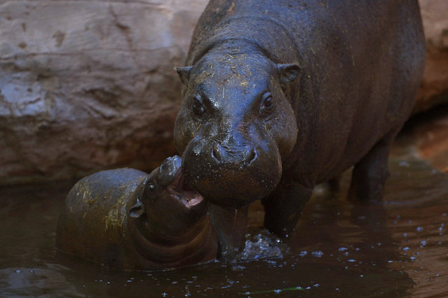 Hippopotamus calf, Nimba, bites its mother, Liberia, at the Fuengirola Bioparc, near Malaga on February 8, 2017. (Photo by Jorge Guerrero/AFP Photo)
