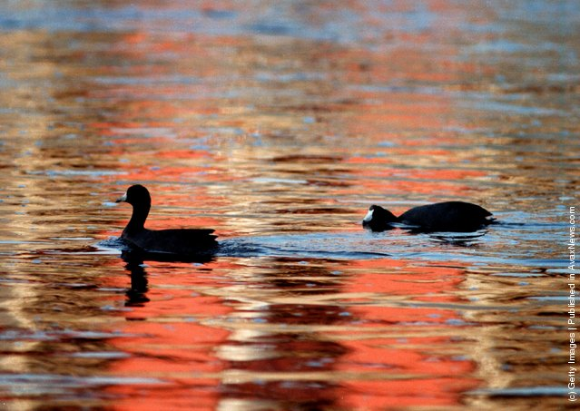 American coots swim through the colors of reflected graffiti off the concrete banks