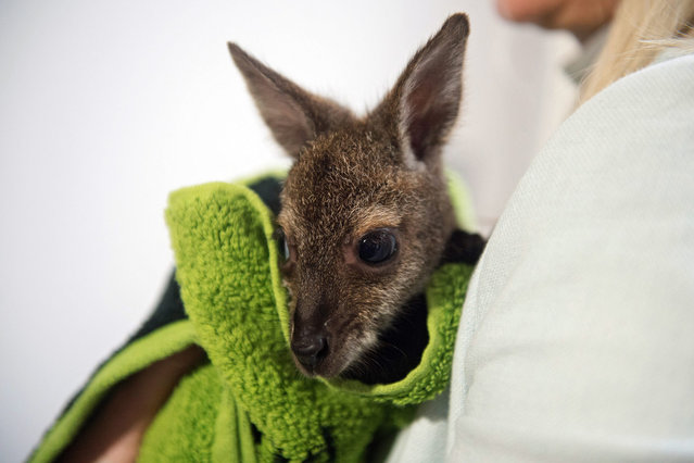 A keeper with a red-necked wallaby cub in Lodz, Poland, 29 March 2015. The wallaby named Tosia was born at a private mini-zoo about four months ago and weighs only 500 grams. Tosia's mother died about 3 weeks ago and now she is bottle-fed every 3 hours and carried in a special bag by the employee. (Photo by Grzegorz Michalowski/EPA)
