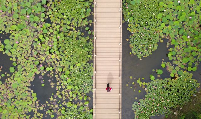 This aerial image shows a visitor (C) viewing lotus plants from a walkway at the Sanwan scenic area beside the ancient canal in Yangzhou, in China's eastern Jiangsu Province on June 17, 2019. (Photo by AFP Photo/Stringer)